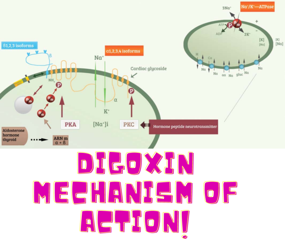 digoxin mechanism of action