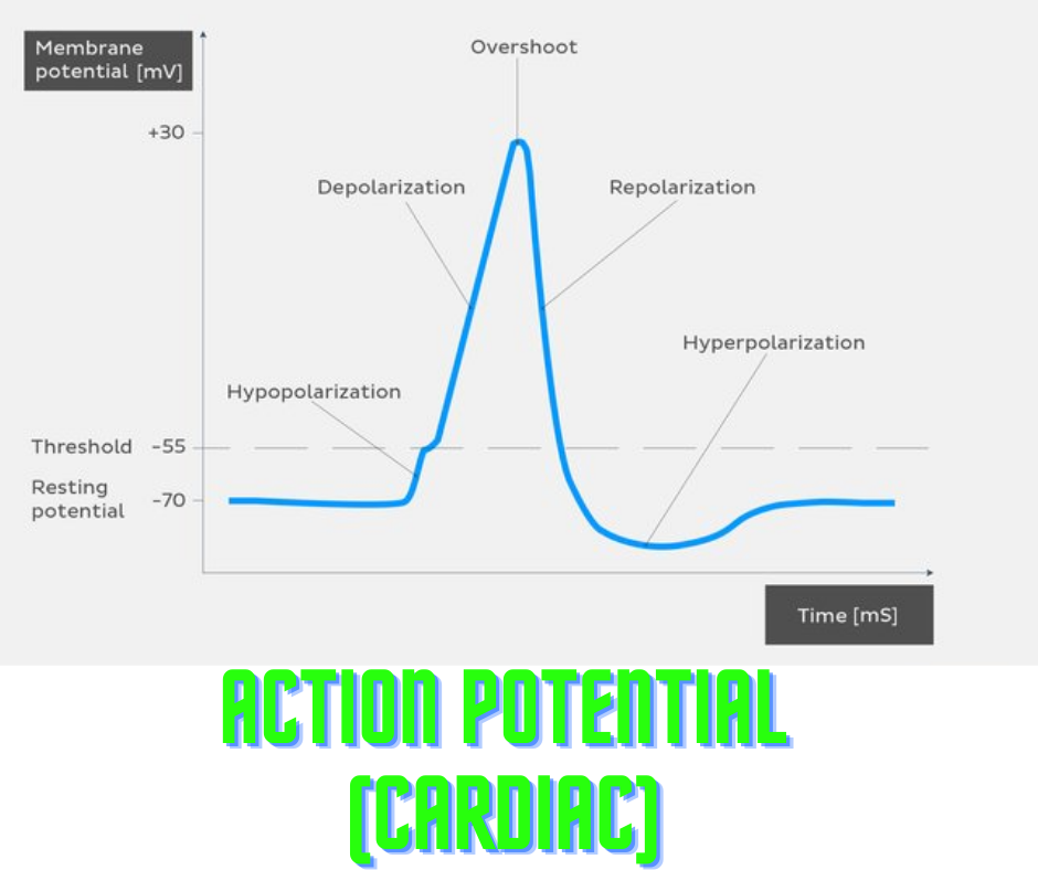 Action potential (cardiac)